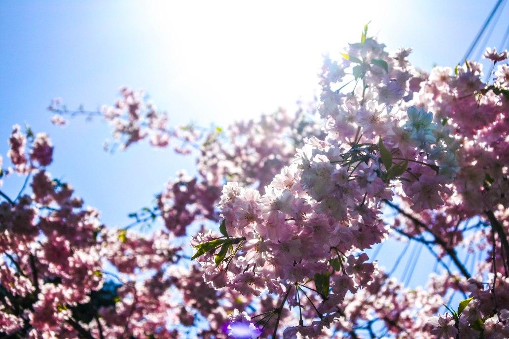 Cherry Blossom close up.jpg
