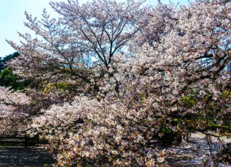 Cherry Blossom Variety at Shinjuku Gyoen National Garden