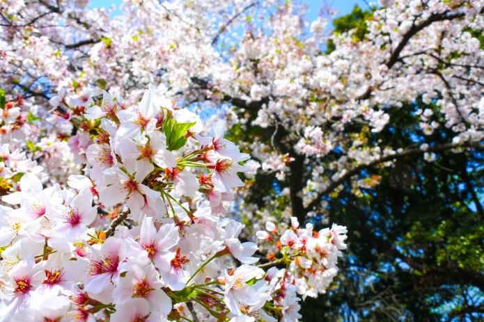 Cherry Blossom Variety