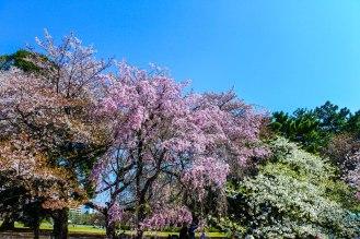 Cherry Trees Shinjuku Gyoen National Garden